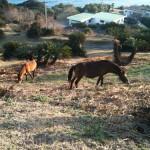 都井岬の馬